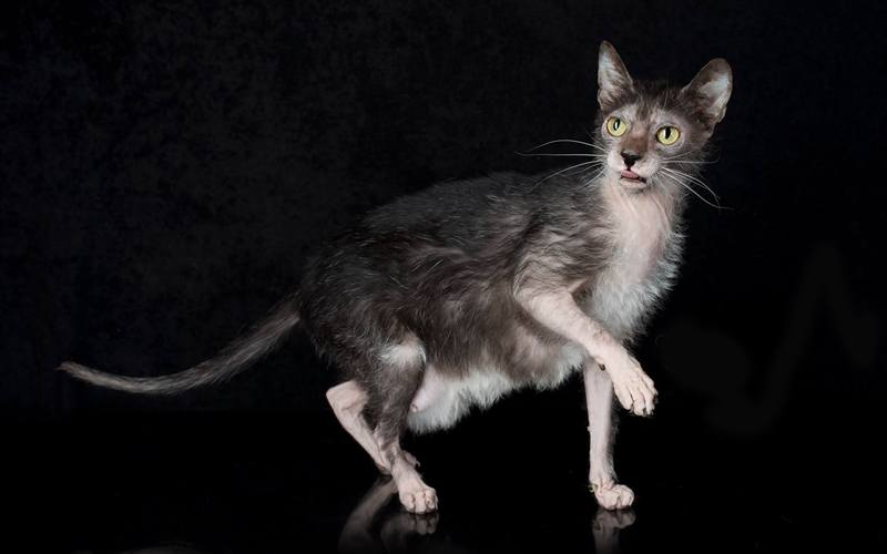Kucing Ras LYKOI