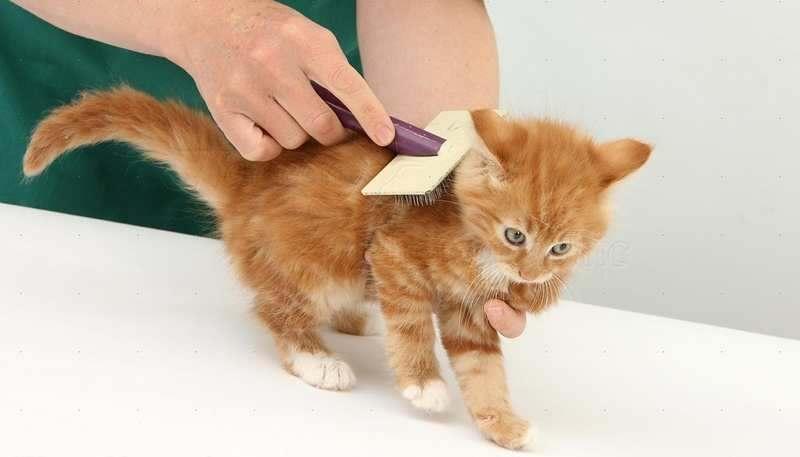 Cara Mengatasi Bulu Kucing Yang Rontok Catlovers Id