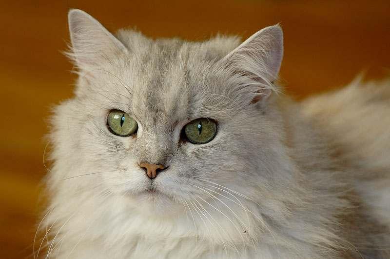 Cara Merawat Anak Kucing Persia Umur 2 3 Bulan Catlovers Id