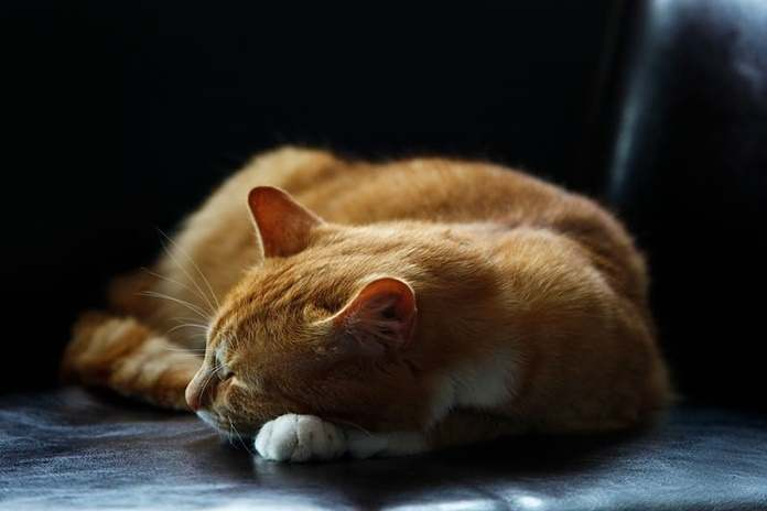 Hasil gambar untuk kucing mendengkur