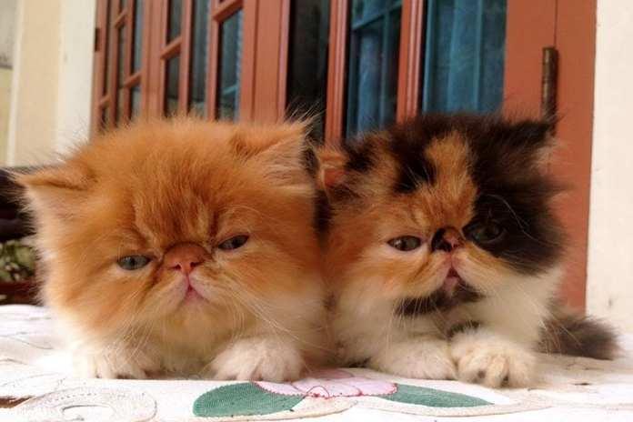cara merawat anak kucing persia