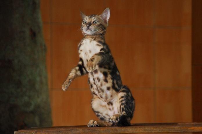 karakter dan cara merawat kucing bengal