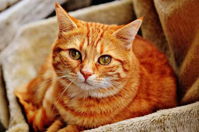 masa kehamilan kucing
