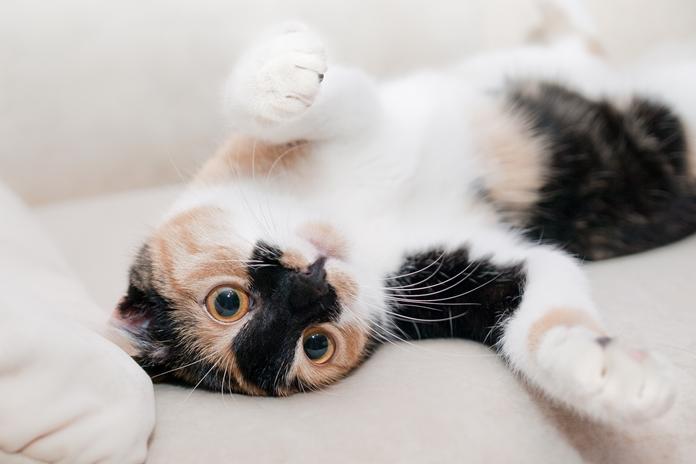 Bagian tubuh kucing yang boleh disentuh