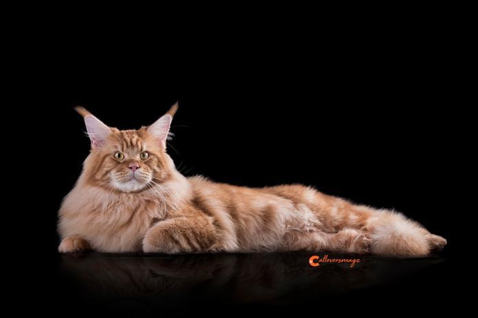 dengkuran kucing