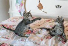 hentikan pertengkaran kucing