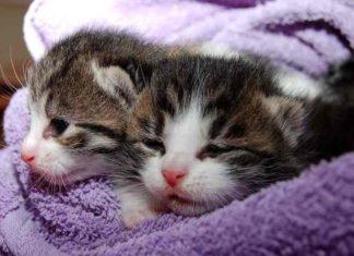 merawat kitten