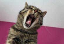 kucing catlovers terserang gangguan pernafasan