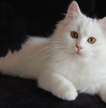 kucing ras angora