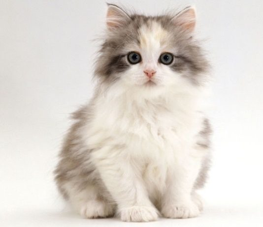 kucing chincilla