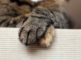 tips cerdas memotong kuku kucing