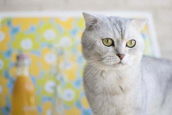 kucing ras scottish fold
