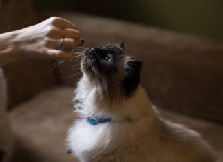 makanan yang harus diberikan pada kucing