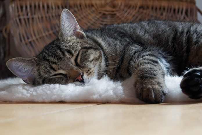 cara mengatasi kaki kucing keseleo
