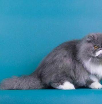 Merawat Kucing Persia yang Benar