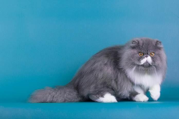 4 masalah penyakit yang sering menyerang kucing persia