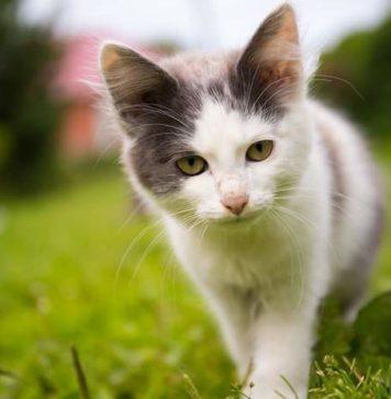 pulau kucing