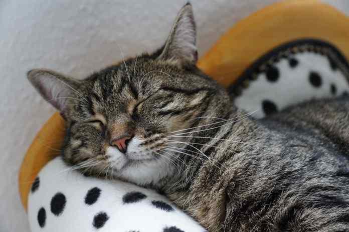 jenis virus berbahaya yang menyerang kucing