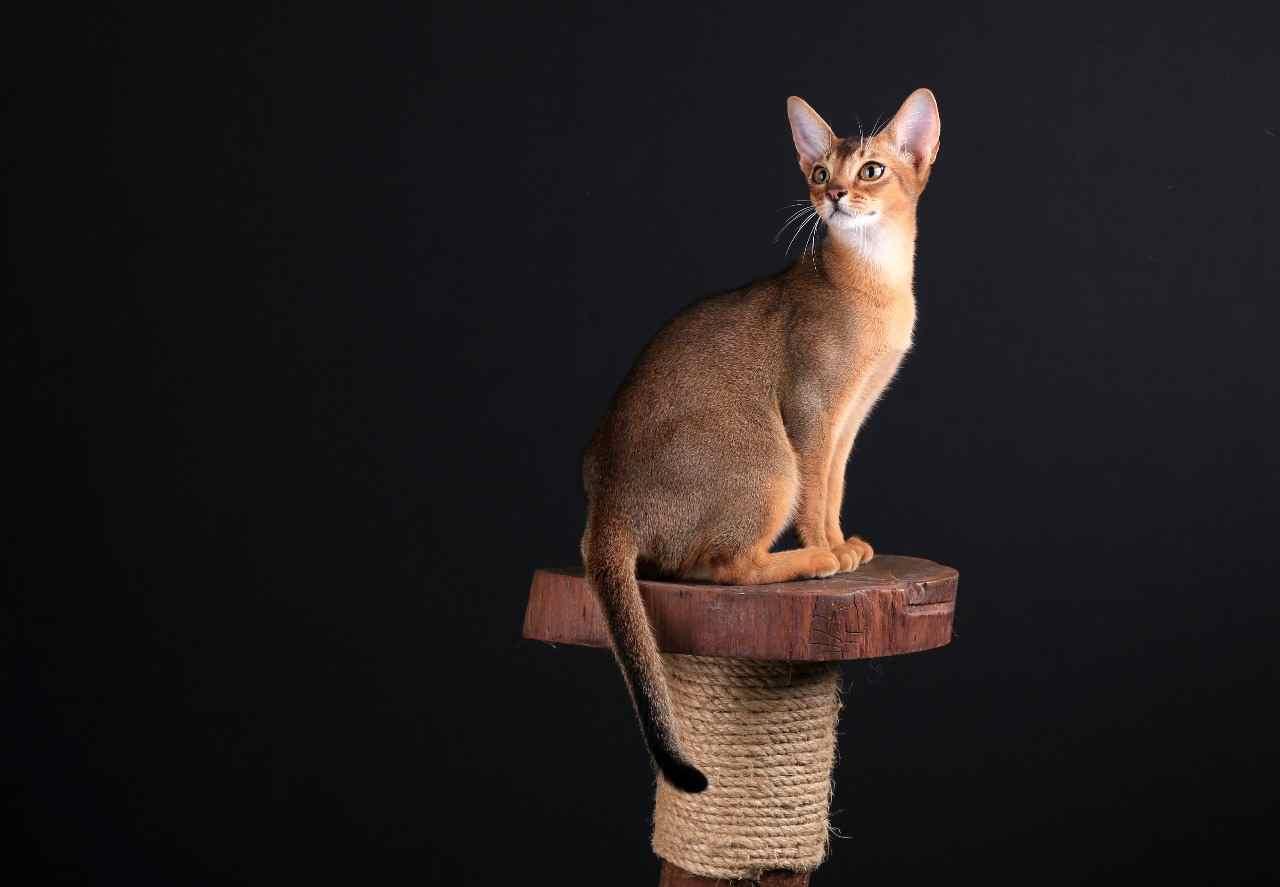 karakter sifat dan fisik kucing abyssinian