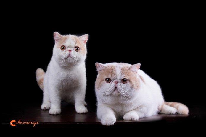 Ternyata Begini Cara Mengetahui Usia Kucing Catlovers Id