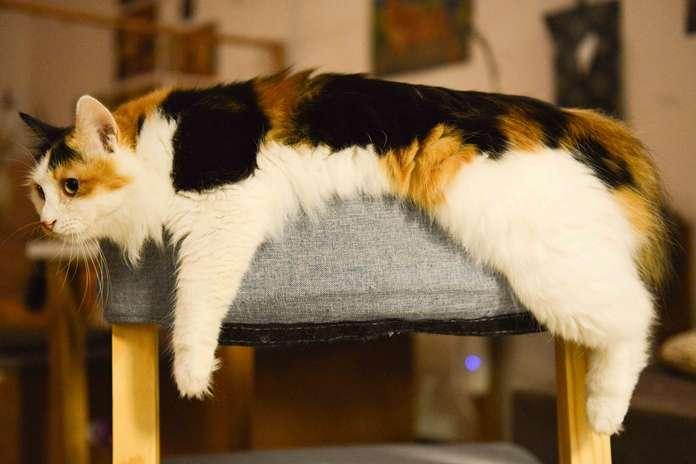 Jenis kutu kucing