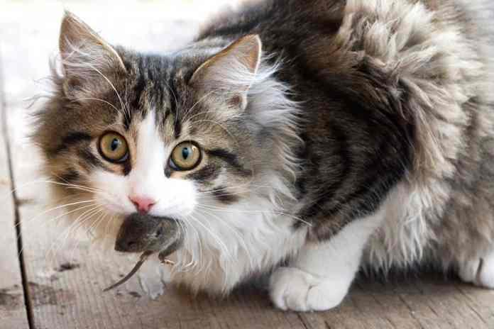 alasan kucing suka makan tikus