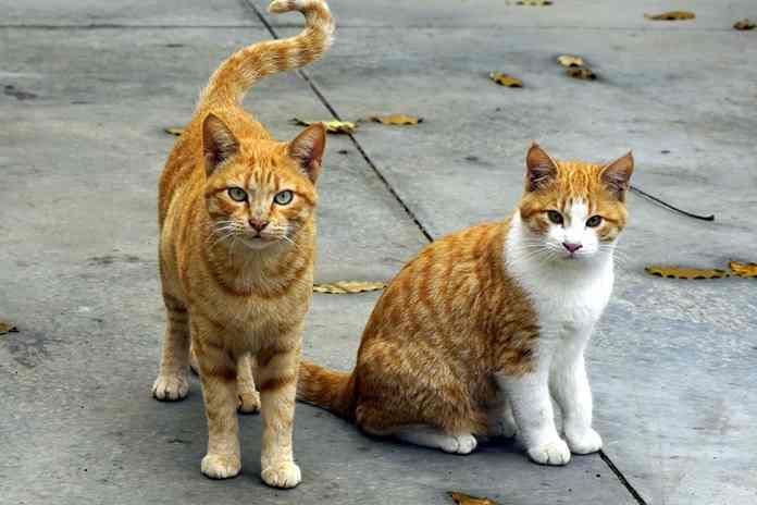 apa penyebab ekor kucing bengkok