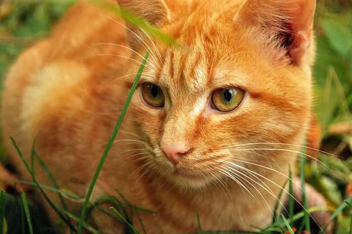 Apakah Kucing Besar Mengubur Kotoran Seperti Kucing Rumahan