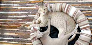 cara agar kucing tidak cepat hamil