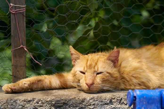 cara kucing menunjukkan rasa sakit