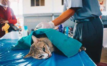 cara merawat kucing pasca-operasi