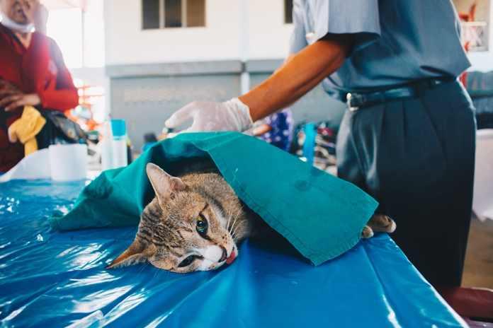merawat kucing pasca-operasi