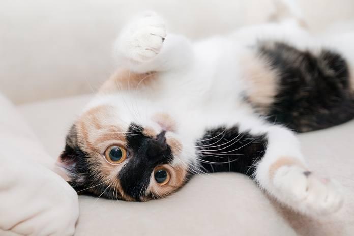 pertolongan pertama untuk anak kucing yang sekarat