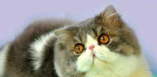 jenis makanan paling baik untuk kucing persia