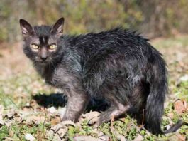 kucing menggemaskan mirip werewolf