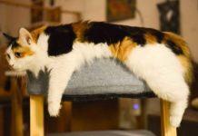 masalah kesehatan yang biasa terjadi pada kucing tua