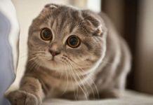 asal mula kucing scottish fold