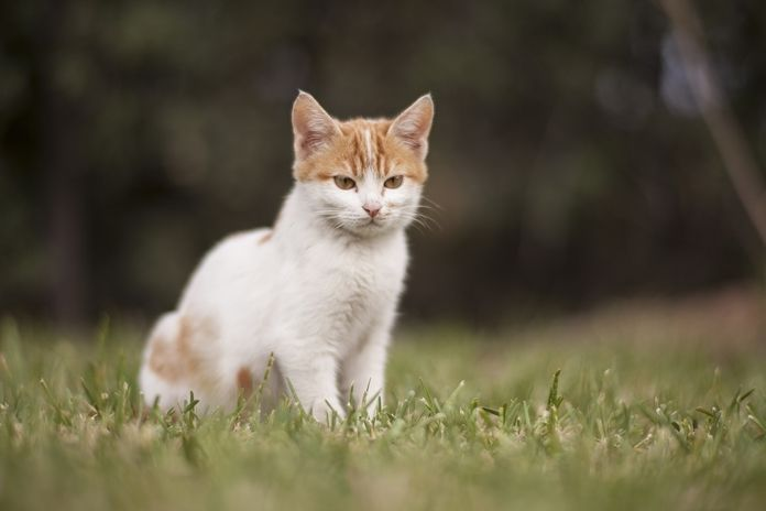 berapa lama masa kehamilan kucing