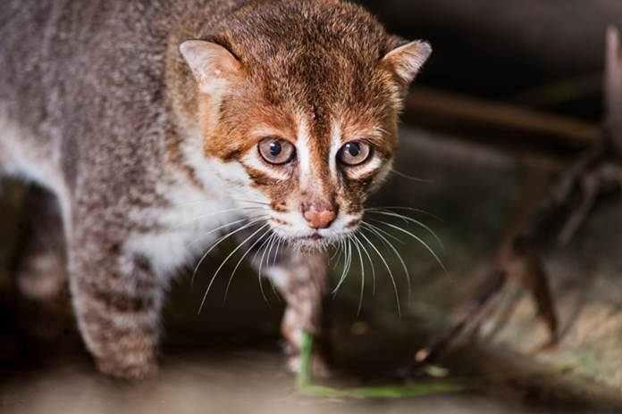 kucing asli Indonesia