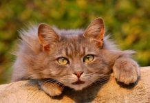 Apa kucing punya golongan darah