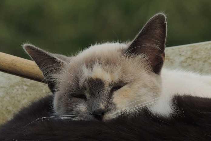 apakah kucing bermimpi