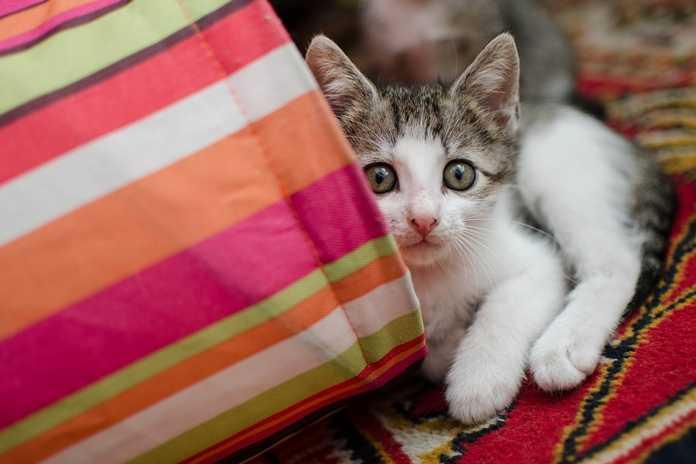apakah kucing butuh susu sapi