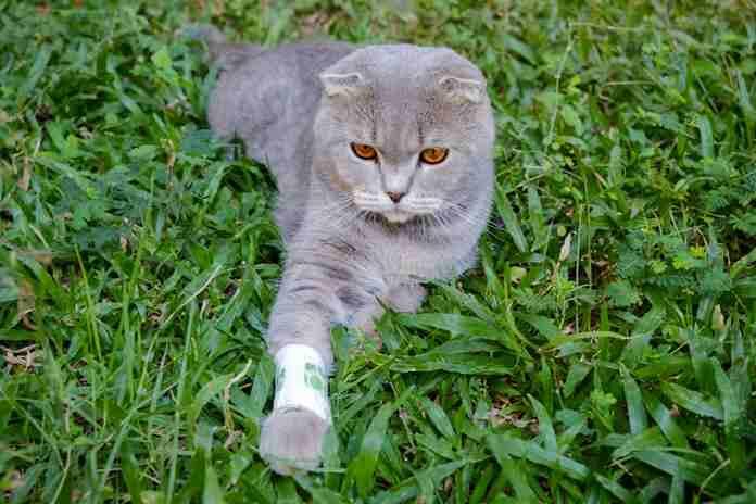 cedera tulang pada kucing