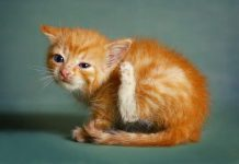 ear mite pada kucing