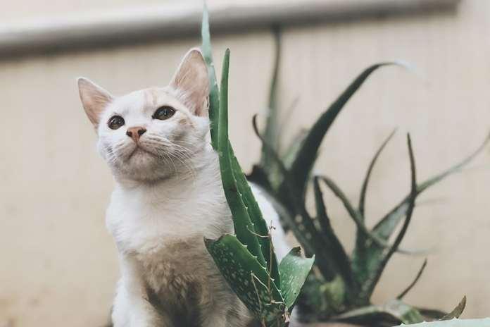 lidah buaya beracun untuk kucing