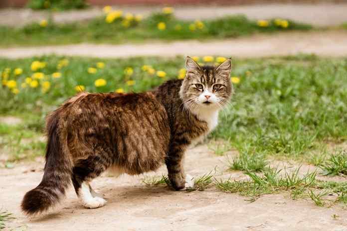 nutrisi untuk kucing hamil