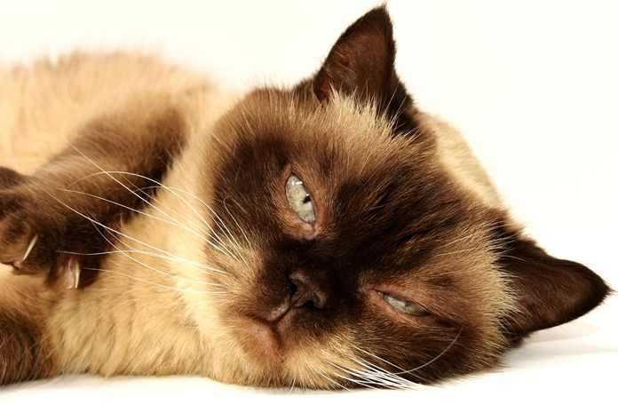 penyakit FIP kucing