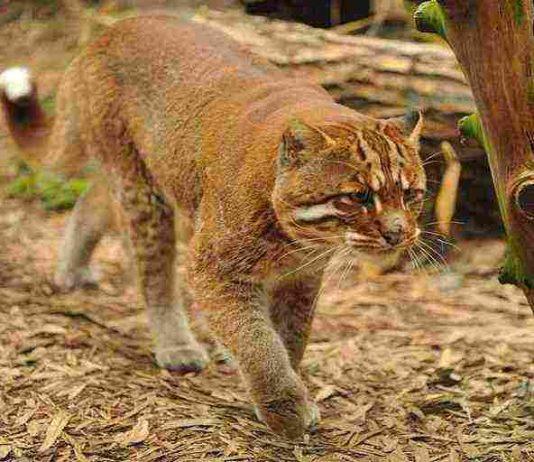 kucing emas