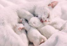 cara merawat induk kucing pascamelahirkan