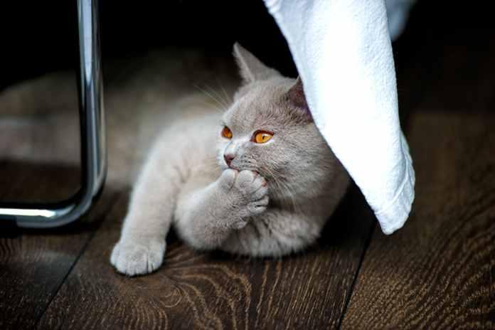 kucing juga ada yang kidal
